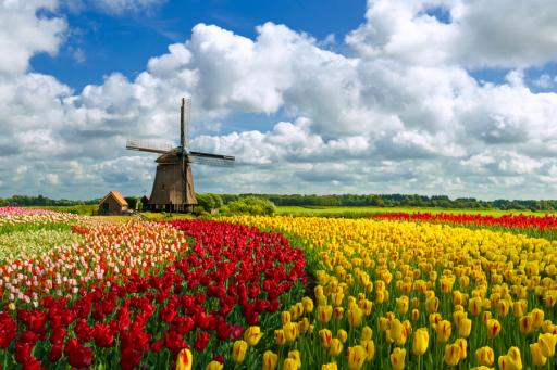 Trafalgar solo traveler deals - Holland tulips